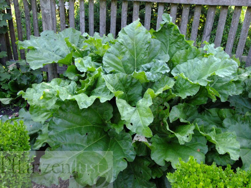 """Rhabarber ist ein beliebtes """"Obst"""", lässt sich problemlos im Garten ziehen und sogar verfrühen"""