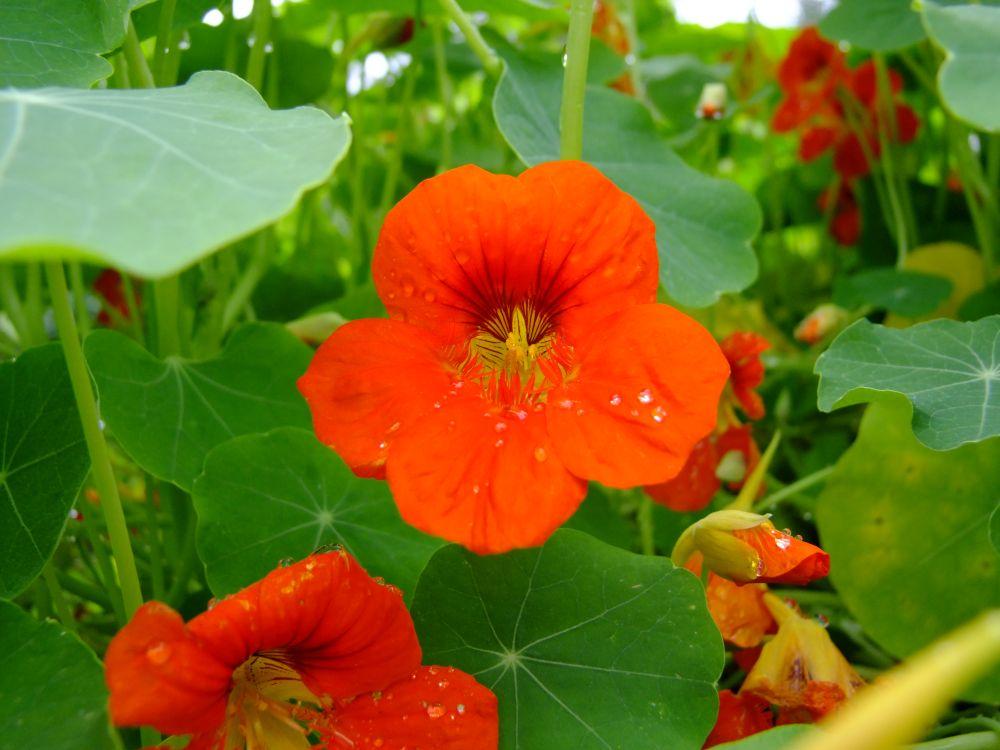 Kapuzinerkresse in Orangerot
