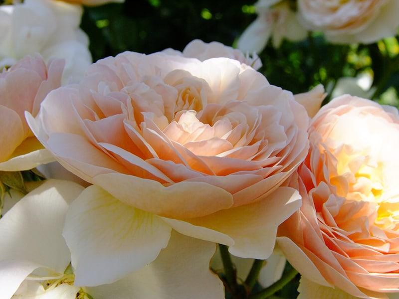 Vortrag Gesunde Rosen