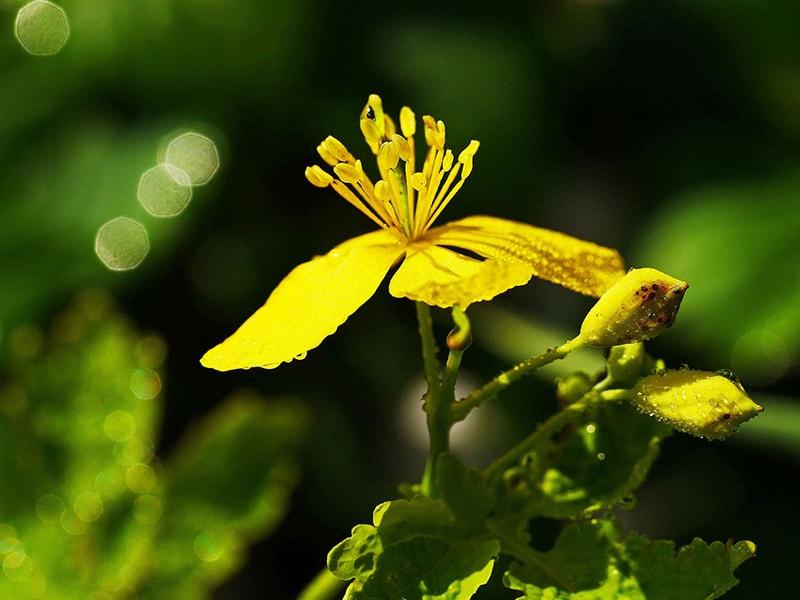 Vortrag Pflanzenzauber Zauberpflanzen
